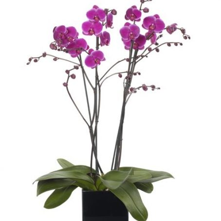 Magenta-Pink-Double-Orchid