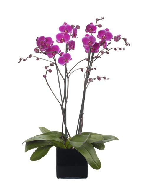 Magena Pink Double Orchid Planter Luxury Flowers London And Uk