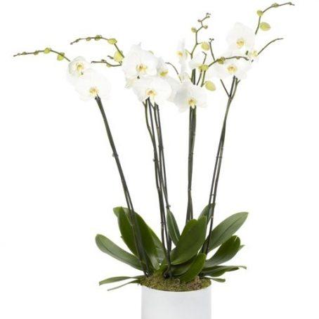 Luxury White Treble Orchid London Florists