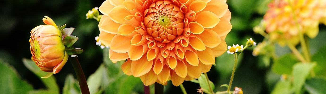 dahlia-summertime-flowers
