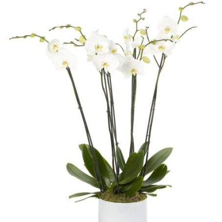 Luxury White Treble Orchid London Florists